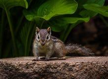 Scarface do mundo do esquilo Imagem de Stock