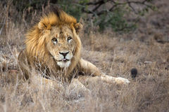 Scarface-Löwe Lizenzfreies Stockfoto