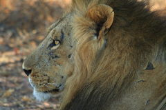 Scarface wild male african lion Stock Photo