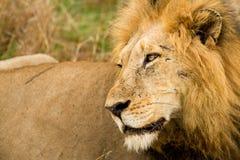 Scarfaced лев в Буше в Южной Африке стоковое изображение rf