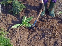 Scarify the soil. In flower bed on spring Stock Images
