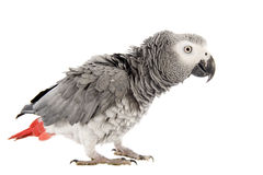 Scaring African Grey Parrot Stock Images
