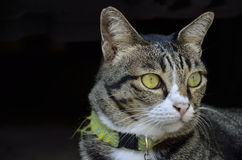 Scaring cat. (Cat in thailand&#x29 Royalty Free Stock Photos