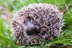 Scaring hedgehog Stock Image