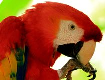 Scarlet Amazon Parrot, Macaw Parrot, Exotic Bird. Scarlet AmazonMacaw clean it`s beack Royalty Free Stock Image