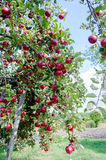 Scarlet apples. Fragrant, juicy apples drenched freshness and blush in a bright sunny day Stock Photos