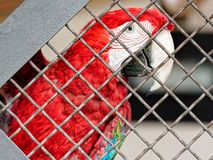 Scarlet Ara parrot cage. Scarlet Ara parrot in the cage Stock Image