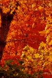 Scarlet autumn Royalty Free Stock Photo