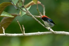 Scarlet-backed Flowerpecker Stock Image