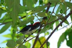 Scarlet-backed flowerpecker. The male scarlet-backed flowerpecker eat fruit Stock Image