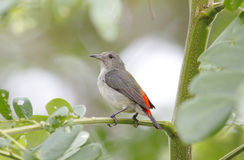 Scarlet-backed Flowerpecker Royalty Free Stock Photos