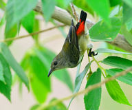 Scarlet-backed Flowerpecker Stock Photo