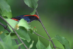 Scarlet-backed flowerpecker. The scarlet-backed flowerpecker Dicaeum cruentatum is a species of passerine bird in the flowerpecker family Dicaeidae. Sexually Royalty Free Stock Image