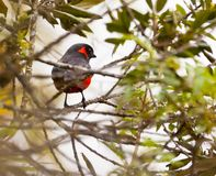 The Scarlet-Bellied Mountain Tanager Stock Photography