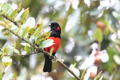 Scarlet-bellied Mountain Tanager Stock Photos