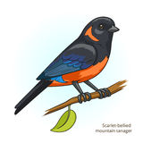 Scarlet bellied mountain tanager bird vector Stock Photo