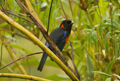 Scarlet-bellied Mountain-Tanager Royalty Free Stock Photo