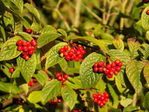 Scarlet berries of cotoneaster in the August sun Royalty Free Stock Image