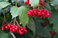 Scarlet berries viburnum on branches among foliage Stock Image