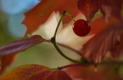 Scarlet berry viburnum on a branch with red leaves Stock Images