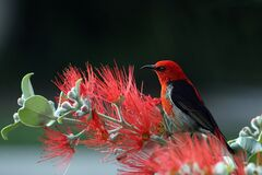 Scarlet and black Honeyeater Stock Image