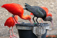 Scarlet and black Ibis's Stock Image