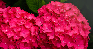 Scarlet blooming Hydrangea flowers from close Royalty Free Stock Photos