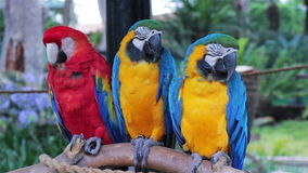 Scarlet and Blue and Gold Macaws perched on a branch 3 stock video footage