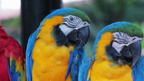 Scarlet and Blue and Gold Macaws perched on a branch 4 stock footage