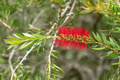 Scarlet Bottle brush (Callistemon) in red color blossoming in the garden royalty free stock photo