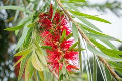 Scarlet Bottlebrush Showy Red Blooms. In a garden Stock Photography