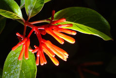 Scarlet Bush in my garden Stock Image