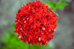 Scarlet carnation. In the garden on a blurred background Royalty Free Stock Images