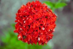 Scarlet carnation royalty free stock images
