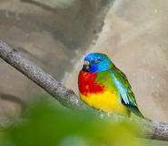 Scarlet Chested Parakeet Royalty Free Stock Photos