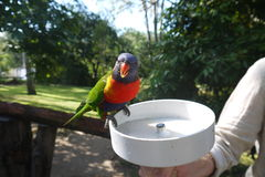 Scarlet-Chested Parrot Royalty Free Stock Photography