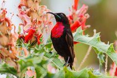 Scarlet-chested Sunbird in Ethiopia stock photo
