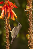 Scarlet-chested sunbird female. Small insect and nectar eating bird. Bill down curved to allow flower probing. Common resident, noisy and conspicuous bird, males Royalty Free Stock Images