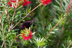 Scarlet-chested sunbird on a flower Royalty Free Stock Photo