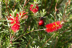 Scarlet-chested sunbird on a flower Stock Photos
