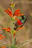 Scarlet-chested sunbird (nectarinia senegalensis) Stock Image