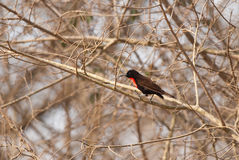 Scarlet-chested Sunbird Stock Image