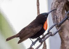 Scarlet Chested Sunbird Stock Photo