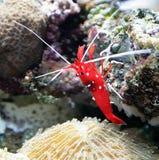 Scarlet Cleaner Shrimp 1 stock photo