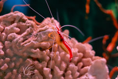 Scarlet cleaner shrimp Stock Image