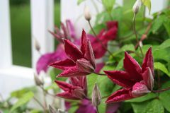 Free Scarlet Clematis Flowers Burst Forth From Soft Gray Buds Stock Photos - 109318613