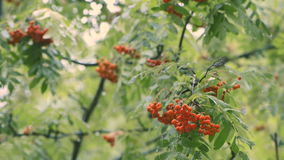 Scarlet clusters of a ripe mountain ash on branches in the rain. Scarlet clusters of a ripe mountain ash on branches with green foliage in the rain stock video footage