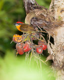 Scarlet-crowned Barbet Stock Photo