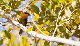 Scarlet-crowned Barbet. A Scarlet-crowned Barbet (Capito aurovirens) jumps on a branch ready to take off Stock Image