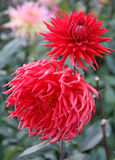 Scarlet Dahlias. Love flowers. Stock Images